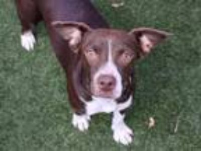 Adopt a Brown/Chocolate - with White Beagle / Mixed dog in Austin, TX (25846744)
