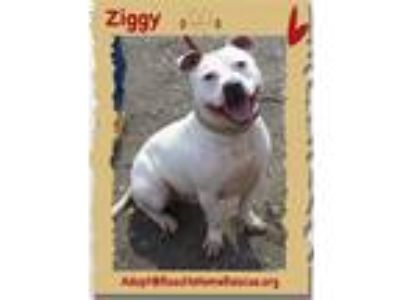 Adopt Ziggy a White Pit Bull Terrier / Mixed dog in Utica, NY (24035158)