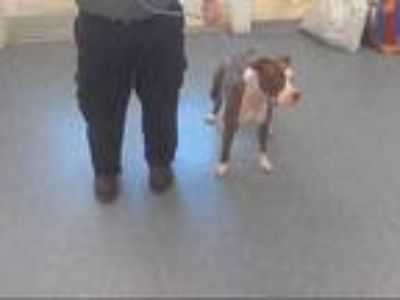Adopt PIXIE a Brown/Chocolate - with White American Pit Bull Terrier / Mixed dog