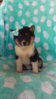Shiba Inu PUPPY FOR SALE ADN-105219 - Lola the Shiba Inu