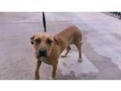 Adopt a Tan/Yellow/Fawn - with White Labrador Retriever / Mixed dog in Fort