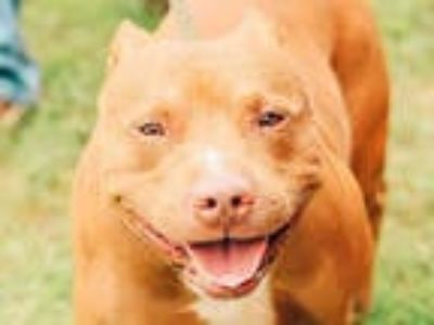Adopt KAZOO a Red/Golden/Orange/Chestnut - with White American Pit Bull Terrier