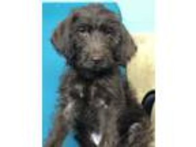 Adopt Rylee a Brown/Chocolate Labrador Retriever / Poodle (Standard) / Mixed dog