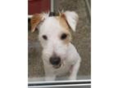 Adopt Loki a Parson Russell Terrier / Mixed dog in Madison, NJ (25582122)