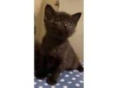 Adopt Arabella a Domestic Short Hair