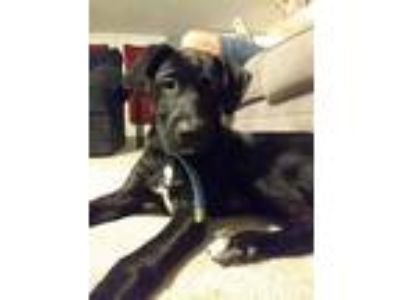 Adopt Savage a Black - with White German Shepherd Dog / Labrador Retriever /