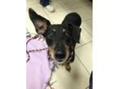 Adopt Zoey a Black - with Tan, Yellow or Fawn Dachshund / Mixed dog in Wheaton