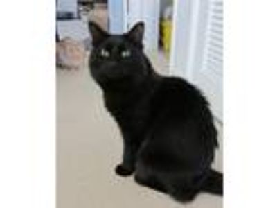 Adopt Einstein a All Black Maine Coon (long coat) cat in Santa Ana