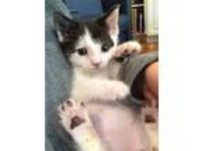 Adopt Socrates a White Domestic Shorthair / Mixed cat in Oradell, NJ (25353861)