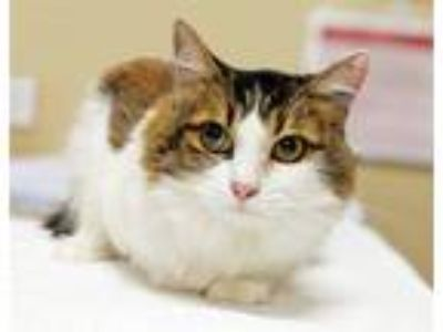 Adopt Heaven a Domestic Shorthair / Mixed cat in Oceanside, CA (25841476)