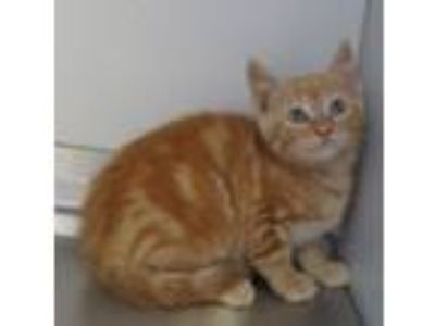 Adopt 42009208 a Domestic Short Hair