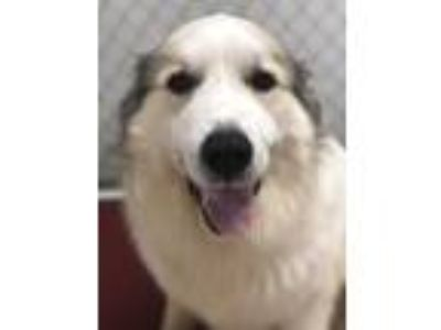 Adopt Stanley a White - with Black Great Pyrenees / Mixed dog in Pacific