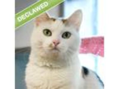 Adopt Patches a Domestic Shorthair / Mixed cat in Des Moines, IA (25289220)