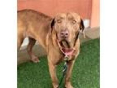 Adopt Kyra a Red/Golden/Orange/Chestnut Labrador Retriever / Mixed dog in