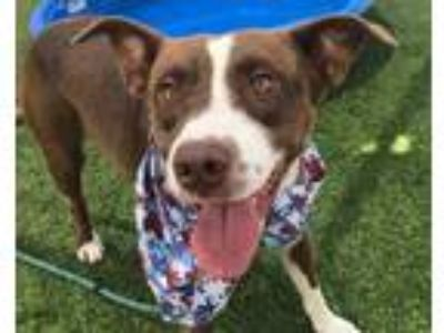 Adopt ALADDIN a Brown/Chocolate - with White American Pit Bull Terrier / Mixed