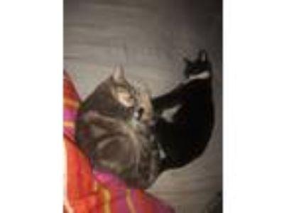 Adopt Loki a Black & White or Tuxedo Calico / Mixed cat in Cleveland