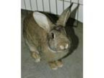 Adopt Cottontail a American