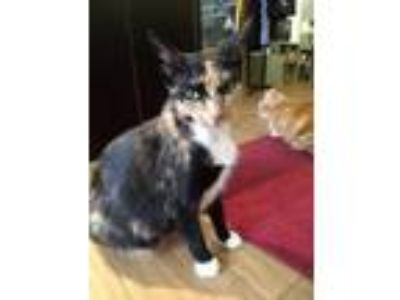 Adopt Tilly a Domestic Short Hair, Calico