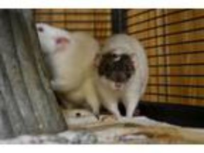 Adopt Francis and Jay a Rat (short coat) small animal in Pine Bush