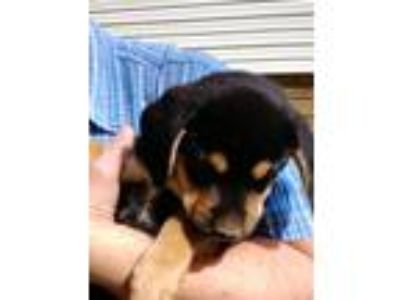 Adopt Puppy a Tricolor (Tan/Brown & Black & White) Beagle / Norwegian Elkhound