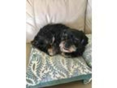 Adopt Sake a Black - with Tan, Yellow or Fawn Shih Tzu / Mixed dog in