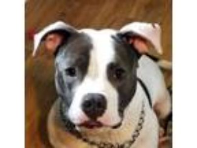 Adopt Marley a Pit Bull Terrier