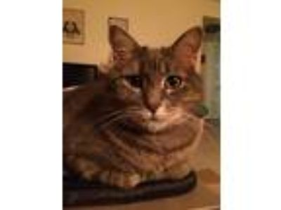 Adopt Bunbury (Bunny) a Brown Tabby Domestic Shorthair cat in Wauwatosa