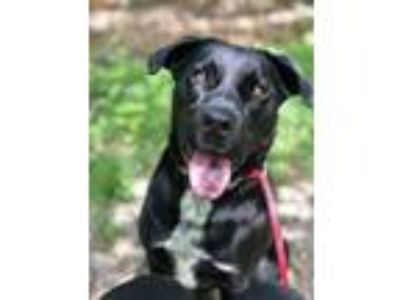 Adopt Lucky Havard a Labrador Retriever, Australian Cattle Dog / Blue Heeler