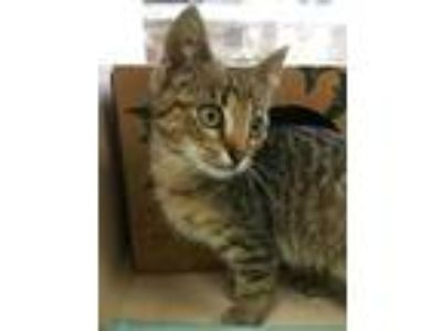 Adopt SMOKY a Brown Tabby Domestic Shorthair / Mixed (short coat) cat in