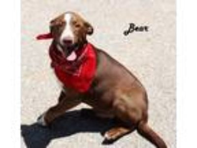 Adopt Bear *MEET ME AT AA!* a Brown/Chocolate - with White Labrador Retriever /