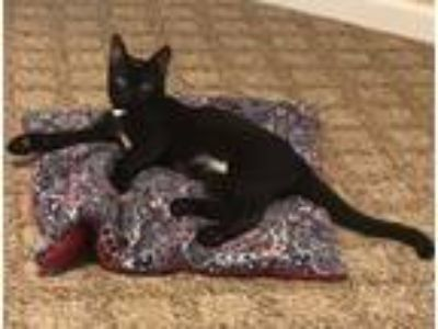 Adopt Stilwell Courtesy Post a Domestic Short Hair