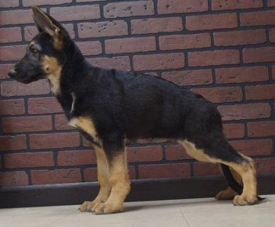 German Shepherd Dog PUPPY FOR SALE ADN-96360 - Amazing AKC German  Shepherd Puppies