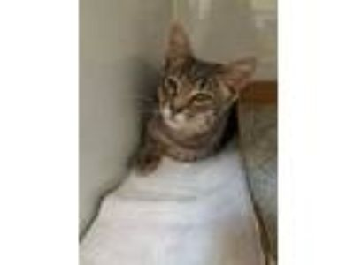 Adopt Chips a Gray or Blue Domestic Shorthair / Domestic Shorthair / Mixed cat