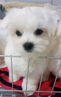 Maltese PUPPY FOR SALE ADN-96377 - Ceecee