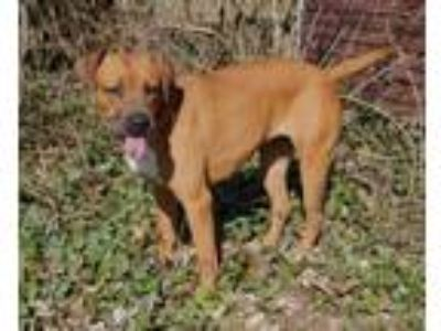 Adopt Sola a Red/Golden/Orange/Chestnut Boxer / Hound (Unknown Type) / Mixed dog