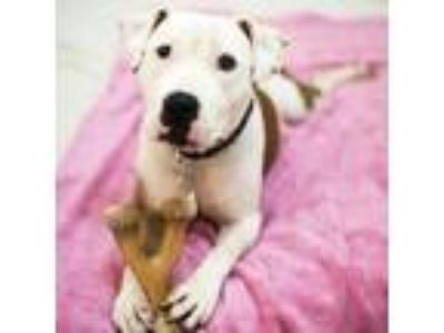 Adopt Randi a Pit Bull Terrier, Mixed Breed