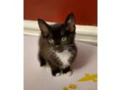 Adopt HARPER a Domestic Short Hair