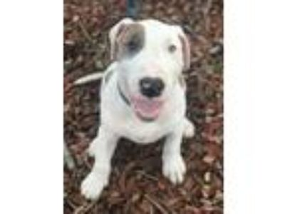 Adopt Petey a White Bull Terrier / Mixed dog in Fort Lauderdale, FL (25808495)
