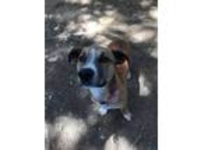 Adopt Bassie a Tan/Yellow/Fawn - with White Basset Hound dog in Gilbertsville