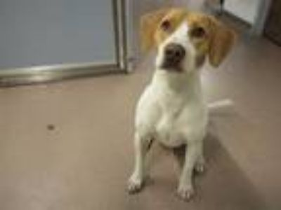 Adopt Shiloh a Hound (Unknown Type) / Brittany / Mixed dog in Indianapolis