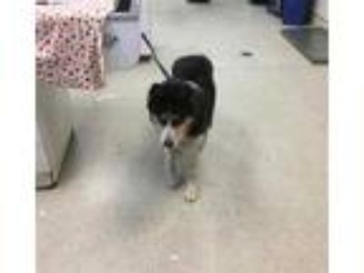 Adopt Dog a Black - with Gray or Silver Husky / Mixed dog in Jurupa Valley
