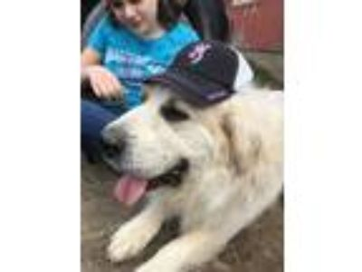Adopt Fester a Great Pyrenees