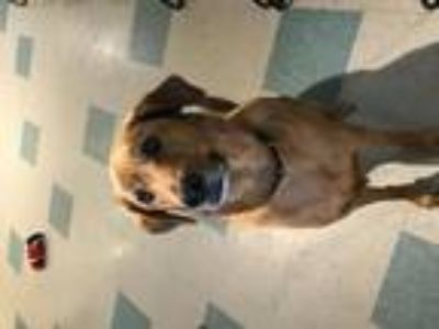 Adopt Dryfuss a Red/Golden/Orange/Chestnut Labrador Retriever / Mixed dog in