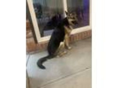 Adopt Kaia a Black - with Tan, Yellow or Fawn German Shepherd Dog dog in Aurora
