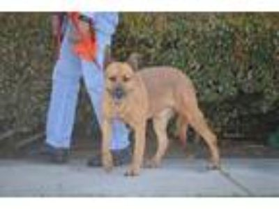Adopt Timmy a German Shepherd Dog / Labrador Retriever / Mixed dog in Mira Loma