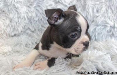 Eastpointe XOJA #! Boston Terrier Puppies