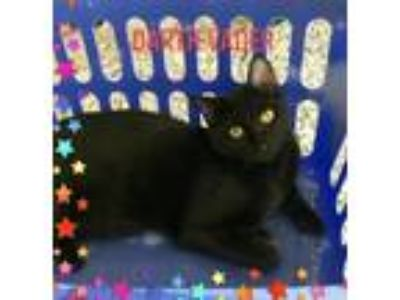 Adopt Darth Vader a All Black Domestic Shorthair / Mixed (short coat) cat in