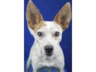 Adopt Andy - 082803L a Red/Golden/Orange/Chestnut Australian Cattle Dog / Mixed