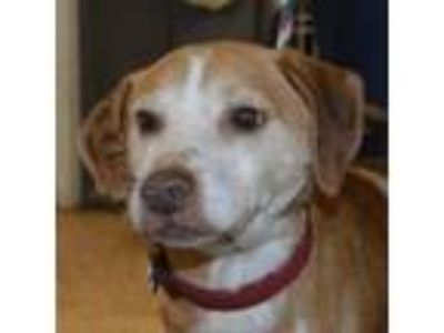 Adopt Spicy a Brown/Chocolate Beagle / Jack Russell Terrier dog in Lyndhurst