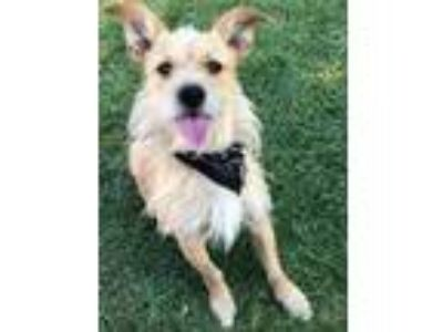 Adopt Mufasa a Jack Russell Terrier, Chinese Crested Dog